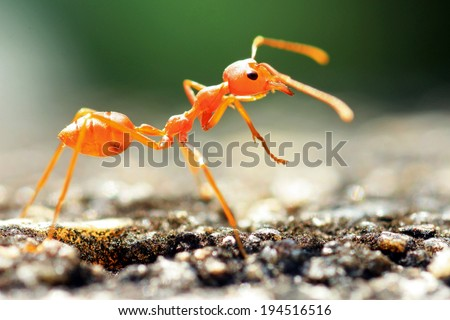 Red weaver ants share the food with the other  - stock photo