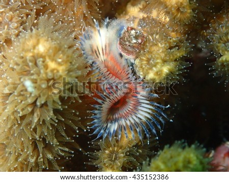 Red White and Blue Horse Shoe Plume Worm on Coral Key West Florida - stock photo