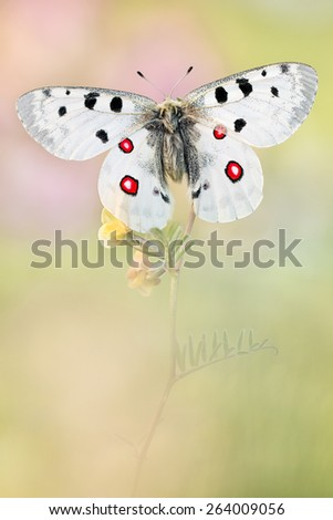 Red White Apollo Butterfly - stock photo