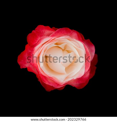 Red & white rose, isolated on black - stock photo