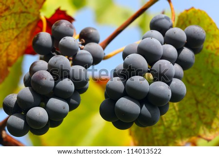Red wine grapes on the vine - stock photo