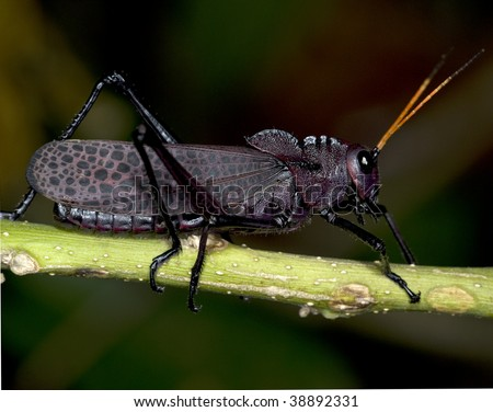 red winged black grasshopper, costa rica - stock photo