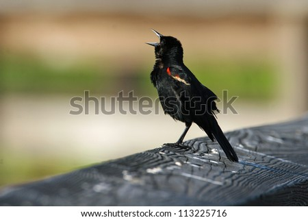 red-winged blackbird - stock photo
