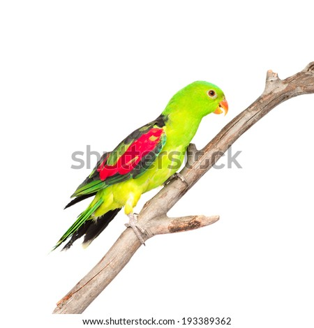Red-Winged Parrot (Aprosmictus erythropterus) in profile. isolated on white background