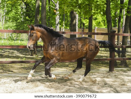 red with black mane horse runs on the sand in a paddock near the wooden fence
