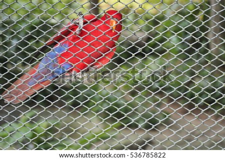 Red with purple parrot put claw on steel grating fence or mesh staring at photographer in open zoo