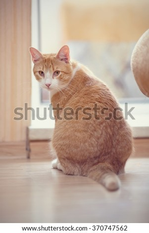 Red with white the striped domestic cat sits on a floor. - stock photo