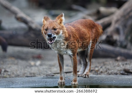 Red wolf eating meat by the water - stock photo