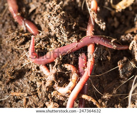 red worms in compost - bait for fishing - stock photo