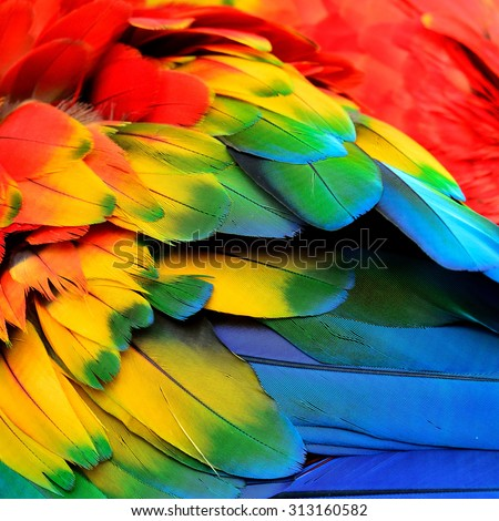 Red Yellow and Blue feathers of Scarlet Macaw bird with beautiful colors profile - stock photo