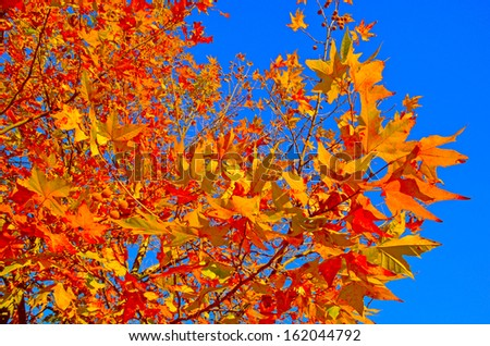 red yellow background of autumn leaves and clear blue sky  - stock photo