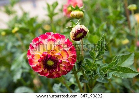 red-yellow dahlia flower closeup on  background of green leaves - stock photo