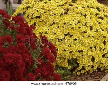 red yellow mums - stock photo