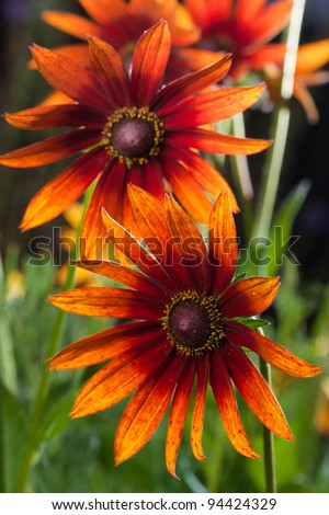 Red Yellow Rudbeckia flower in nature - stock photo