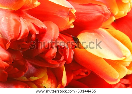 Red Yellow Tulip Group