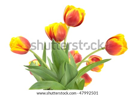 Red-yellow tulips isolated on white - stock photo