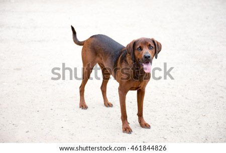 Redbone Coonhound Mix Dog Enjoying Outdoors on Nice Day