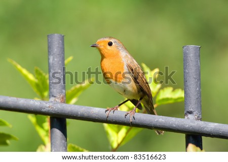 redbreast on the fence