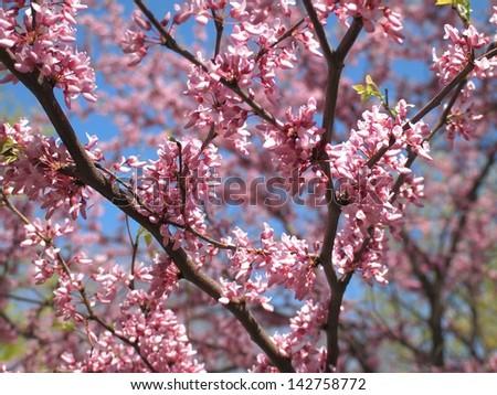 Redbud flower - stock photo