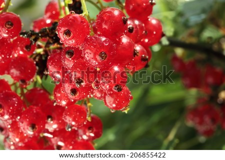 redcurrant branch with water drops after rain - stock photo