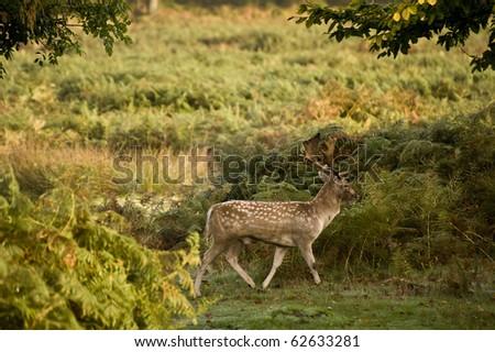 Redd deer during rut mating season during October, Autumn, Fall - stock photo