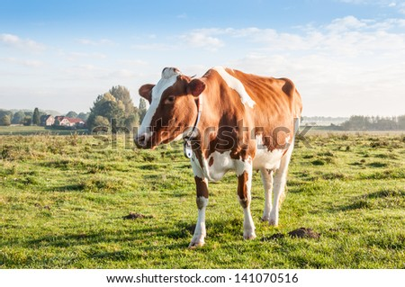Reddish brown cow staring in the fresh Dutch meadow. - stock photo