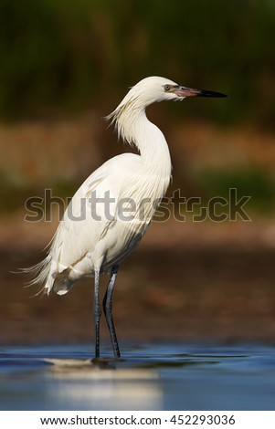 Reddish Egret, Egretta rufescens, rare heron, white form. Bird in the water with first morning sun light. Heron in the water, early morning scene, Florida USA Nature with bird. Heron hunting in water. - stock photo