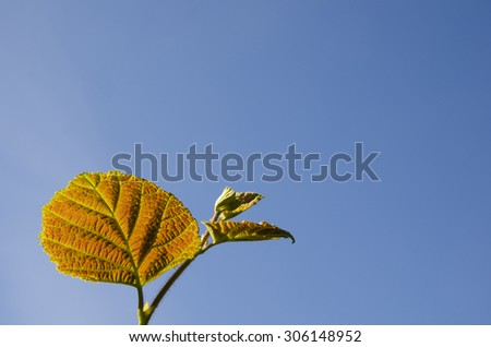 Reddish hazel leaf at a twig with blue sky as background - stock photo
