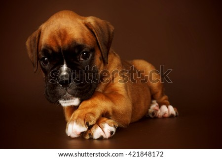 Redhead cute sad puppy boxer lies paws crossed on a brown background - stock photo