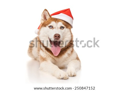 Redhead husky with santa hat - stock photo