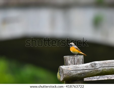 redstart on pole in the woods