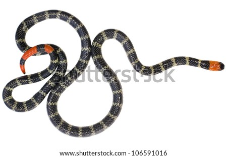 Redtail coral snake (Micrurus mipartitus decussatus) A venomous snake from rainforest in the Choco Biological Region in Western Ecuador - stock photo