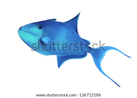 Redtoothed triggerfish (Odonus niger) isolated on white background. - stock photo