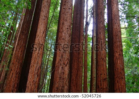 redwood forest 4 - stock photo
