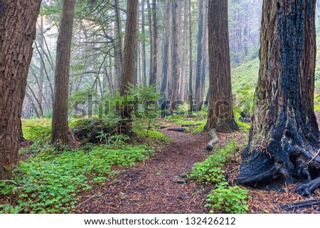 Redwood Grove and Fog, Big Sur, California - stock photo