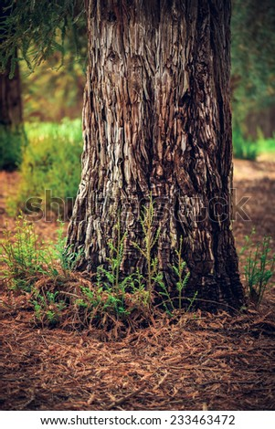 Redwood Tree Trunk, California - stock photo