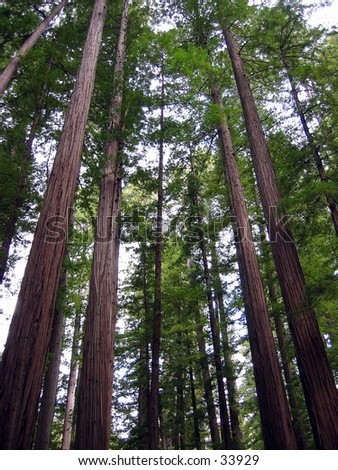 Redwood trees in Humboldt County, CA - stock photo