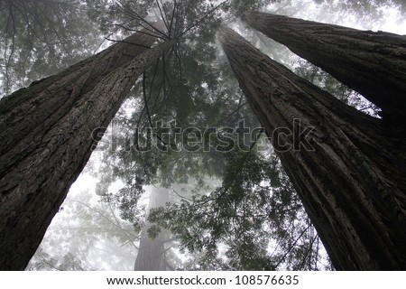 redwood trees, Redwood National Park, California