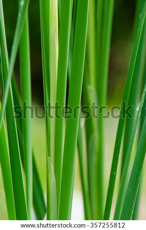 reed - stock photo