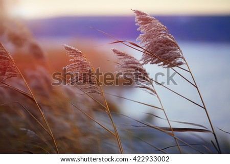 Reed against the sunset. Selective focus. Shallow depth of field - stock photo