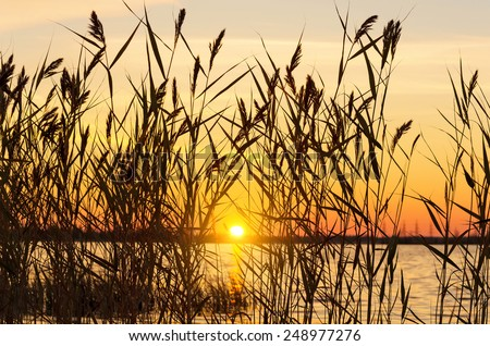 Reed early in the morning on the river bank - stock photo