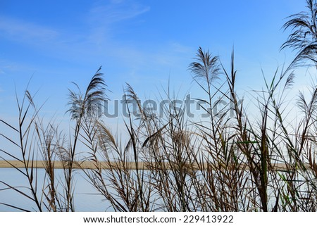 reed flower against a blue cloudy sky at the beach - stock photo