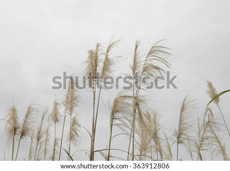 reed flower on white background - stock photo