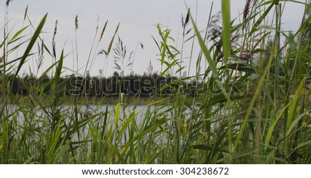 reed grass on lake in summer, closeup photo - stock photo