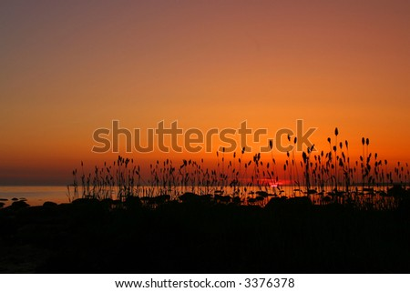 Reed in sunset - stock photo