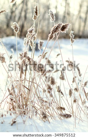 reed on snow background, winter landscape - stock photo