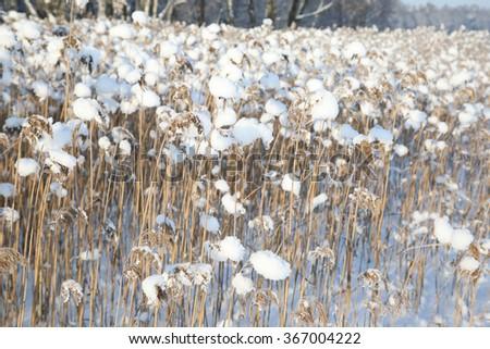 reed on snow background, winter landscape. Frozen lake - stock photo