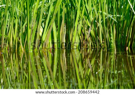 Reed plants growing near to a pond reflecting in the water. - stock photo