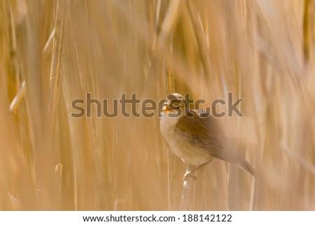 Reed warbler singing from reeds bush - stock photo