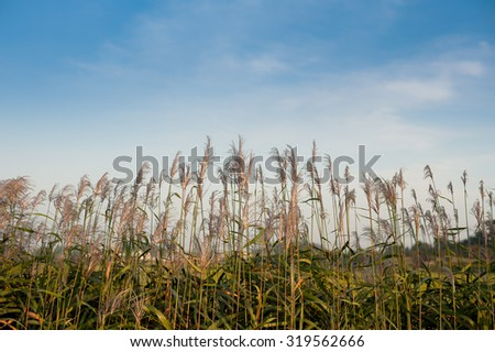 Reeds blowing in the wind in rural South Korea - stock photo